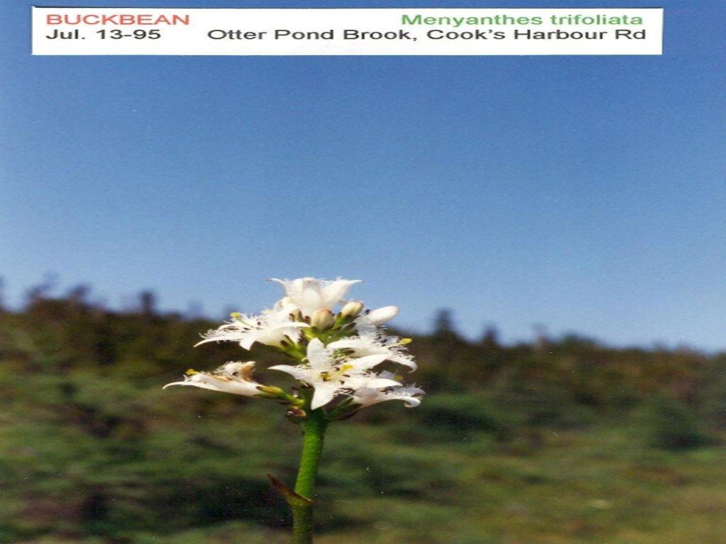 Buckbean [Menyanthes trifoliata]