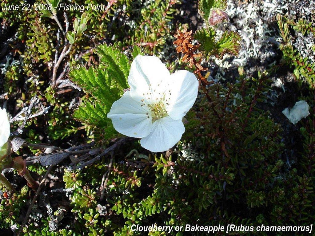 Cloudberry or Bakeapple [Rubus chamaemorus]