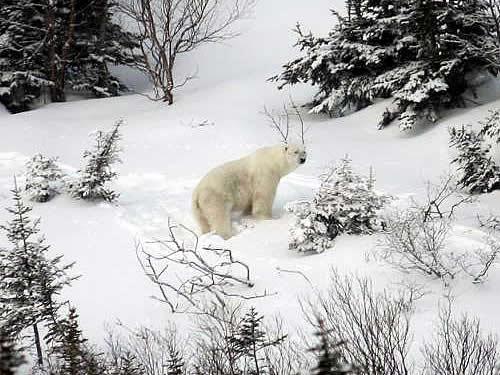 Polar Bear wanders into the St. Carol's area on April 15, 2009.