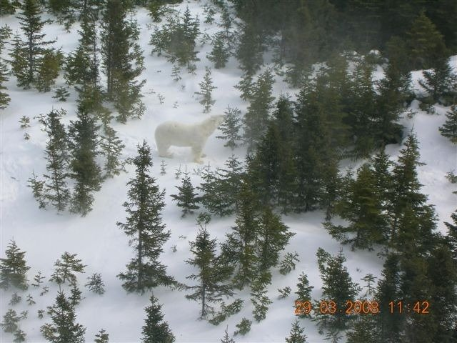 Polar Bear wanders in the Milan Arm area on March 29, 2008 - courtesy of RCMP.